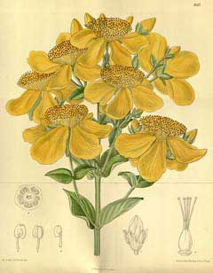 Hypericum ascyron Great Saint John