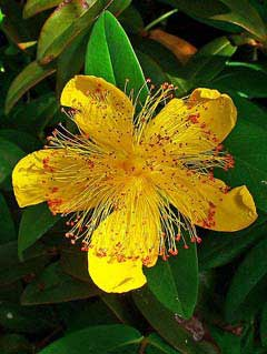 Hypericum calycinum Rose Of Sharon, Aaron