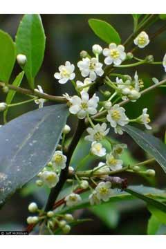 Ilex Coriacea Large Gallberry Pfaf Plant Database