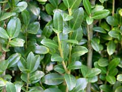 Ilex crenata Japanese Holly, Box Leaved Holly