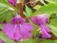 Impatiens balsamina Rose Balsam, Spotted snapweed, Touch-Me-Not, Garden Balsam