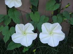 Ipomoea alba Moonflower, Tropical white morning-glory