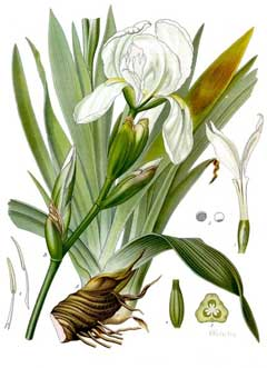 Iris germanica florentina Orris,  Orris-root