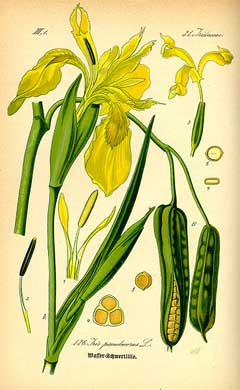 Iris pseudacorus Yello...