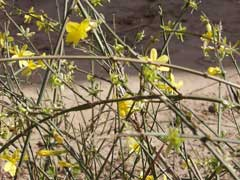 Jasminum nudiflorum Winter-Flowering Jasmin, Winter jasmine