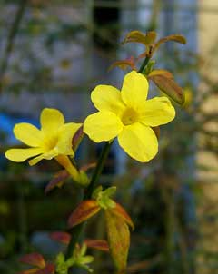 Jasminum nudiflorum Winter-Flowering Jasmin