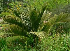 Jubaea chilensis Chilean Wine Palm, Chile cocopalm