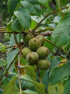 Juglans cathayensis Chinese Walnut