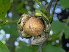 juglans regia Walnut, English walnut, Persian Walnut,