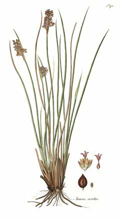 Juncus acutus Sharp Rush, 	Spiny rush,  Leopold