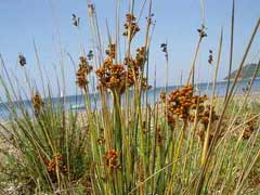 Juncus_acutus Sharp Rush, 	Spiny rush,  Leopold