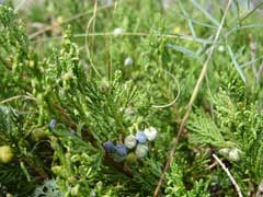 Juniperus horizontalis Creeping Juniper, Horizontal Juniper