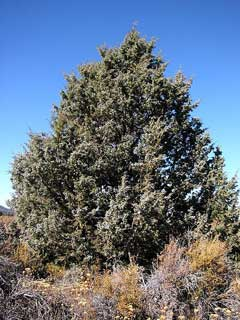 Juniperus occidentalis Western Juniper