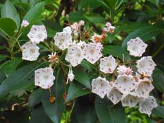 Kalmia latifolia Mountain Laurel, Calico Bush, Ivy