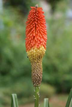 kniphofia uvaria Red Hot Poker , Common Torch Lily, Torch Lily, Poker Plant, Tritoma