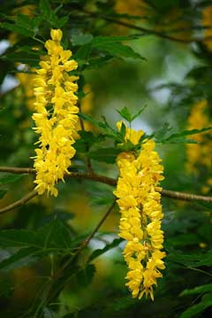 Laburnum alpinum Scotch Laburnum, Alpine Bea Tree, Alpine Golden Chain Tree