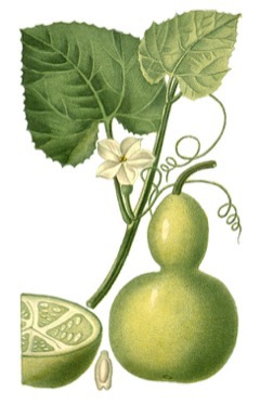Lagenaria Siceraria Bottle Gourd Pfaf Plant Database