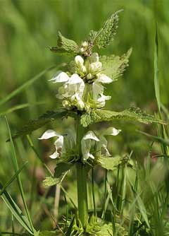 Lamium album White Dead Nettle