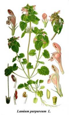 Lamium purpureum page