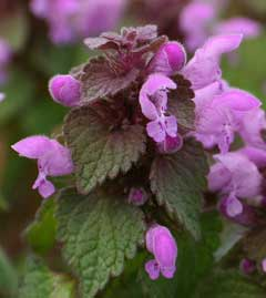 Lamium purpureum Red Dead Nettle, Purple deadnettle