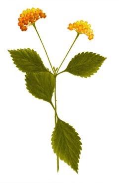 Lantana Camara Wild Sage Lantana Verbena Pfaf Plant Database