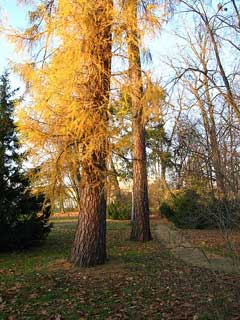 Larix decidua Larch,  European Larch, Common  Larch