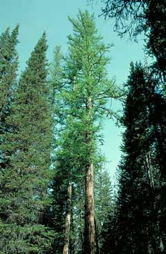 Larix occidentalis Western Larch