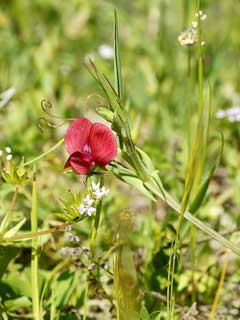 Lathyrus cicera Chickling Vetch, Red pea
