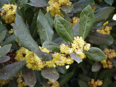 Laurus nobilis Bay Tree, Sweet bay, Grecian Laurel, True Laurel,
