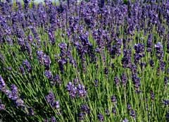 Lavandula angustifolia English Lavender, True Lavender