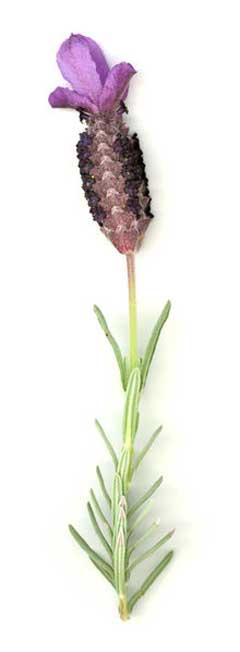 Lavandula stoechas 'Otto Quast' - Spanish Lavender - Eclectic ...
