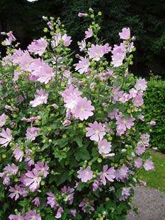 Lavatera species Tree Lavatera