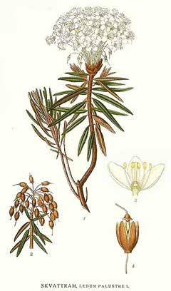 Ledum palustre Wild Rosemary,  Marsh Labrador tea