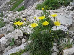 Leontodon hispidus Rough Hawkbit, Bristly hawkbit