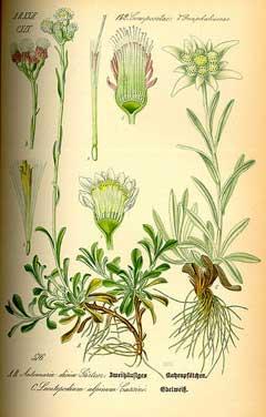 Leontopodium alpinum E...