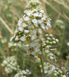 Lepidium fremontii Desert Pepperweed