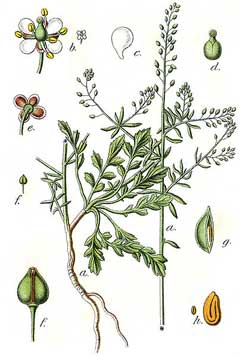 Lepidium graminifolium Grassleaf pepperweed