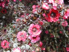 Leptospermum scoparium Tea Tree, Broom teatree, Manuka, New Zealand  Tea Tree