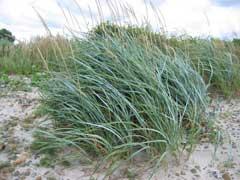 Leymus arenarius Lyme Grass
