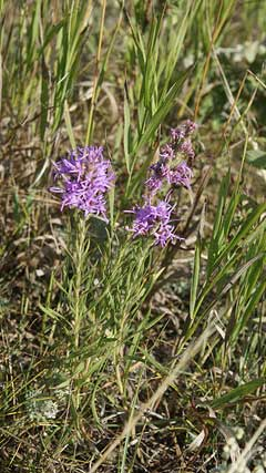 Liatris punctata Snakeroot, Dotted blazing star, Mexican blazing star, Nebraska blazing star
