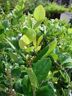 Ligustrum japonicum Japanese Privet, Japanese Ligustrum, Waxleaf Ligustrum, Texas Privet, Waxleaf  Privet