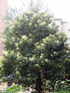 Ligustrum lucidum Chinese Privet, Glossy privet, White Wax Tree, Tree  Ligustrum