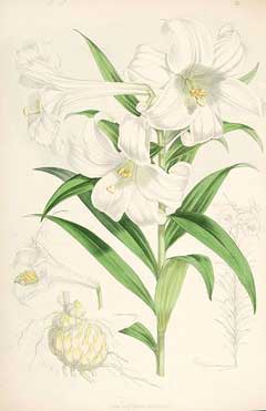 Lilium longiflorum White Trumpet Lily, Easter lily, Trumpet Lily