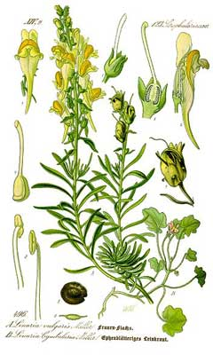 Linaria vulgaris Yellow Toadflax, Butter and eggs