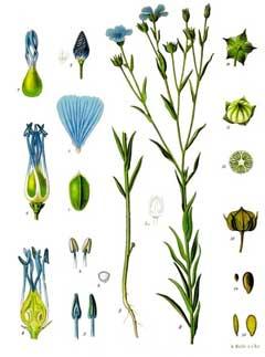 Liste de plantes pour les soins LinumUsitatissimum