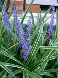 Liriope Muscari Lilyturf Big Blue Lilyturf Border Grass Blue