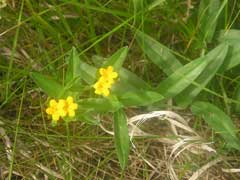 Lithospermum canescens Paint Indian, Hoary puccoon