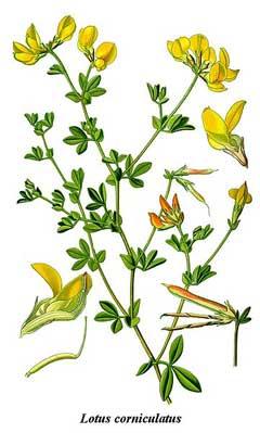 Image result for lotus corniculatus
