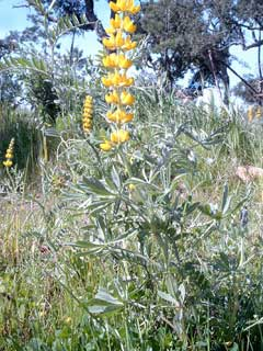 Lupinus luteus Yellow Lupin, European yellow lupine