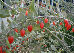Lycium barbarum Goji, Box Thorn, Matrimony vine